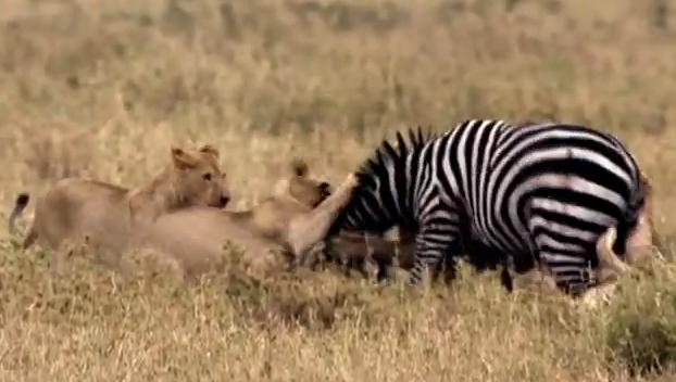 zebras and lions - photo #28